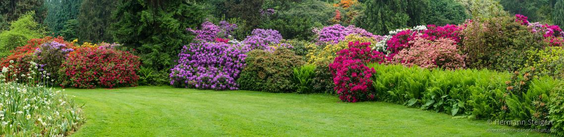 Rhododentronblüte an einer Wiese auf der Insel Mainau