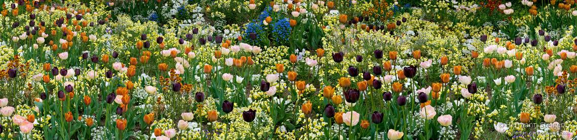Tulpenblüte im Hermannshof.